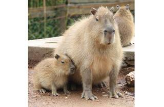 Zoo de Santo Inácio - Capivara