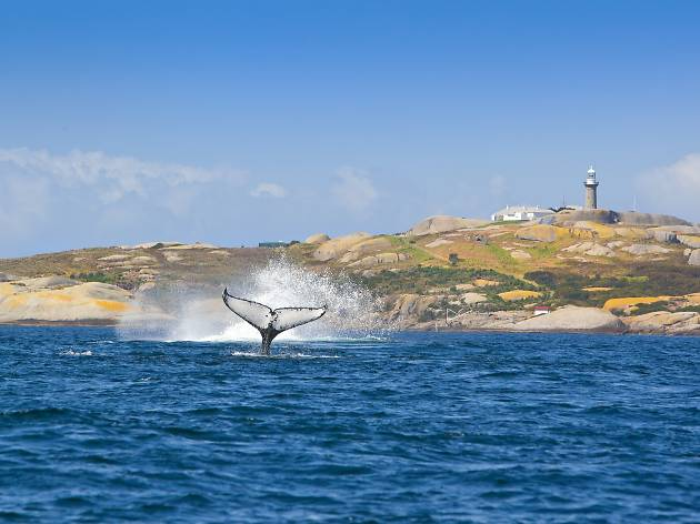 Whale at Montague Island