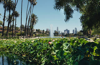 Echo Park Lake, lotus