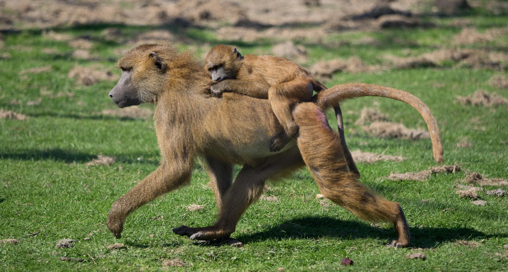 Port Lympne Wild Animal Park, Kent, travel, kids