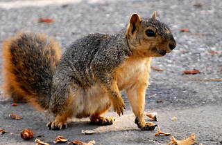 A squirrel with a taste for human blood is running wild in Prospect Park