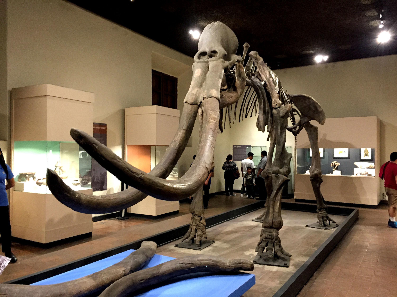 Esqueleto de un mamut en el Museo Regional de Guadalajara
