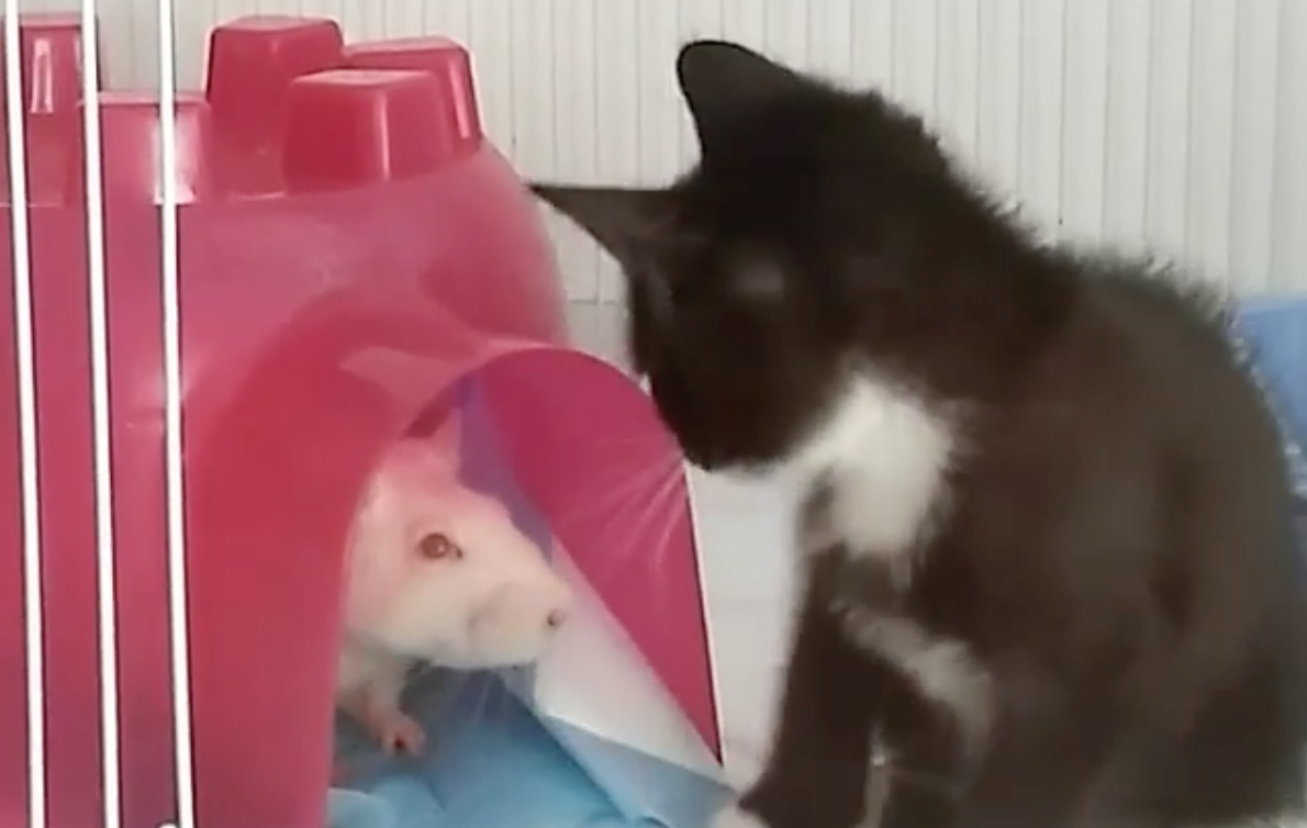 Rats are babysitting kittens at this Brooklyn cat café