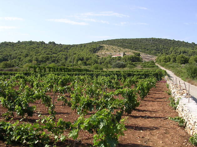 Vineyard in Vis