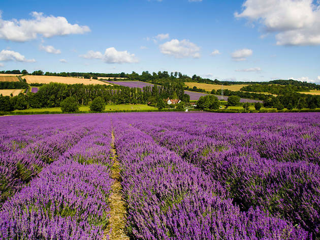 Kentish Lavender