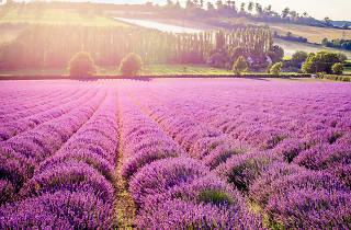 Lavender fields Kentish Lavender