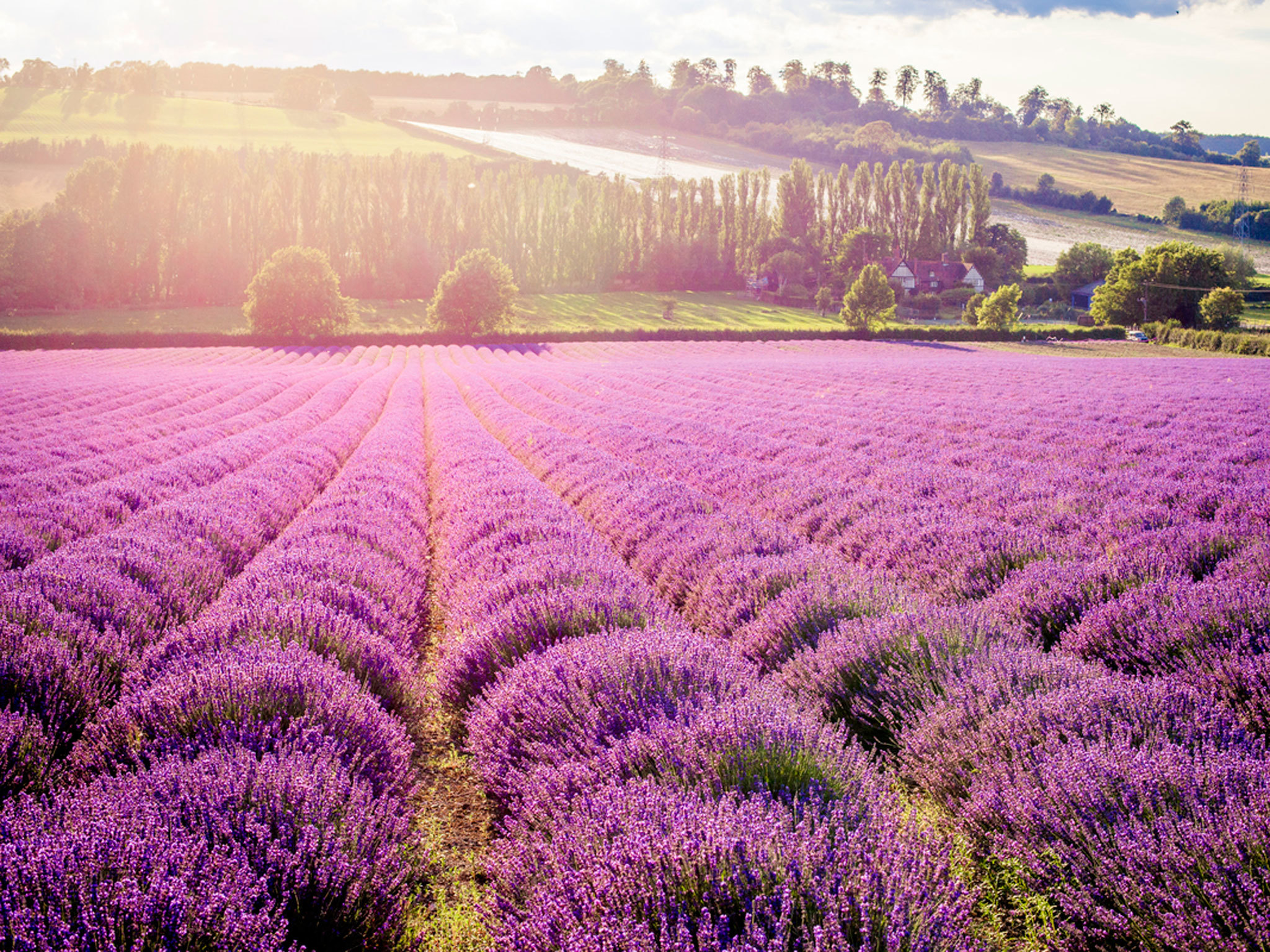 Where to find lavender fields in London