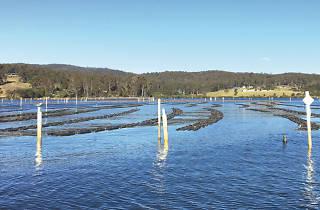 Pambula Lake Sydney Rock Oysters
