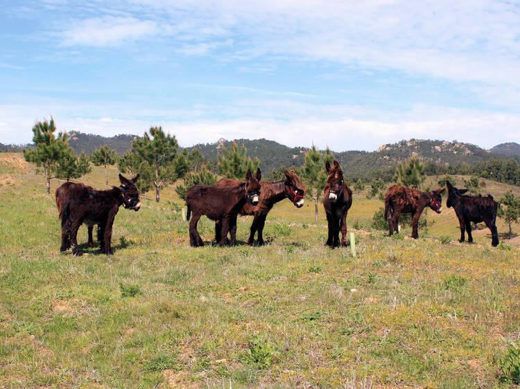 Andar de burro na Quinta do Pisão