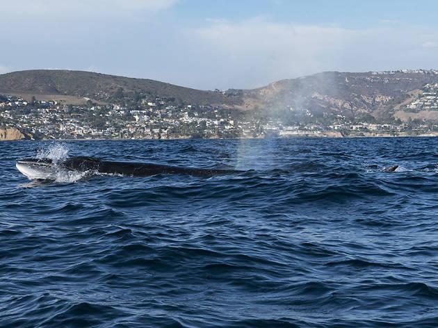 Newport Beach whale
