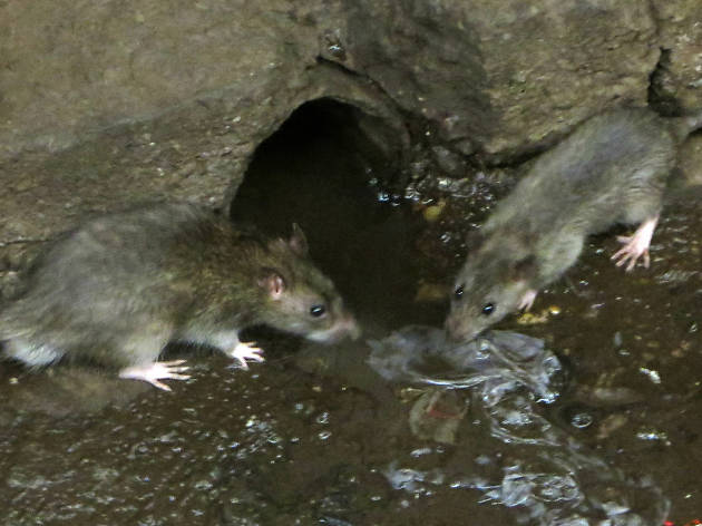 "Sign up now for a ""Rat Academy"" on the Upper West Side"