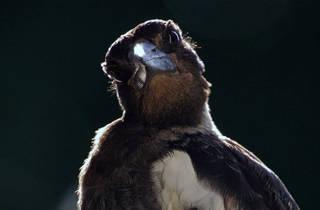 Generic Magpie