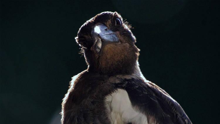 An Aussie Magpie