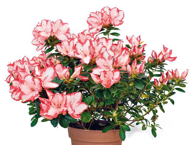 Floristas Maria Antónia - Azáleas