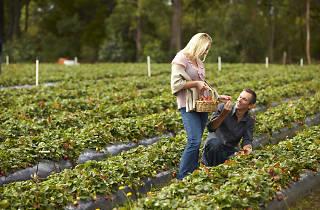 Couple fruit picking at Sunny Ridge Strawberry Farm