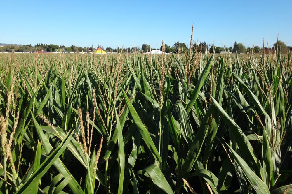 Petaluma Pumpkin Patch and Amazing Corn Maze