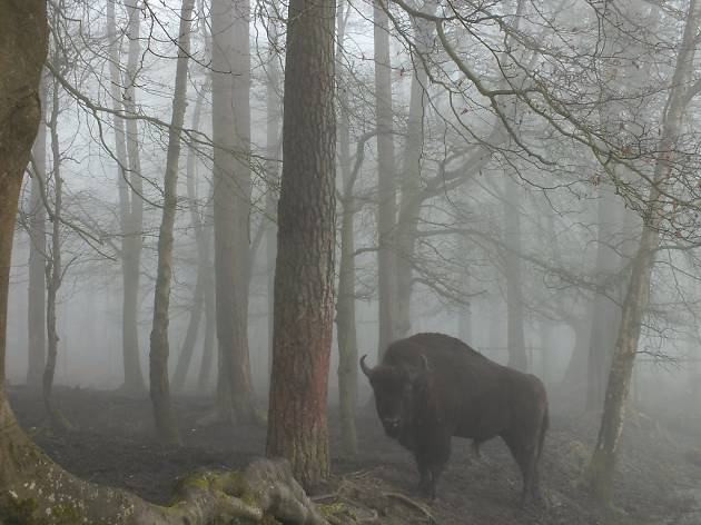 Bison in the New Forest - autumn day trips for kids