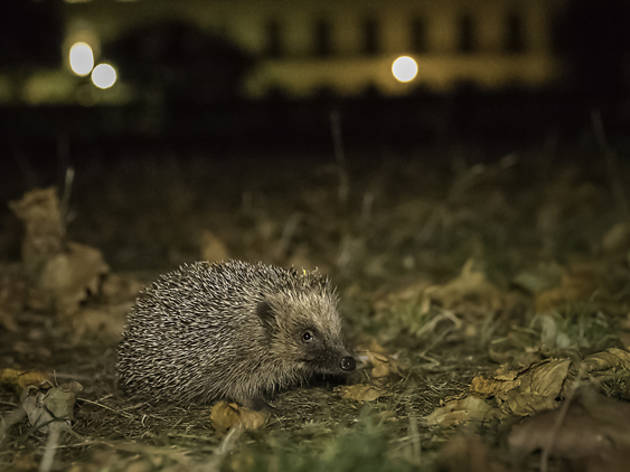 Where to buy a hedgehog in london ontario