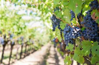 Generic winery vineyard