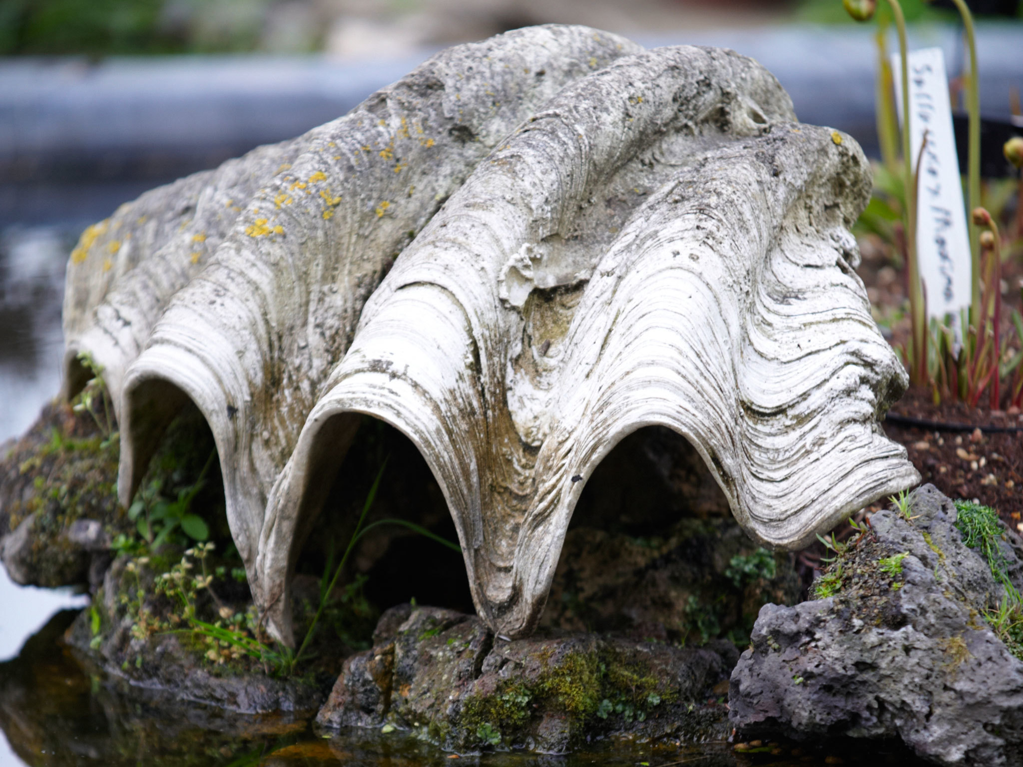 Clam Shell - Chelsea Physic Garden