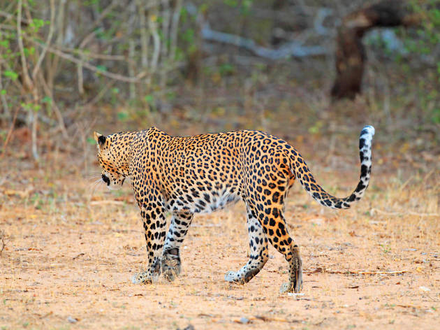 Leopards at Yala