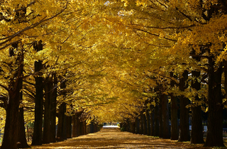 Showa Kinen Park Autumn Leaves Festival | Time Out Tokyo