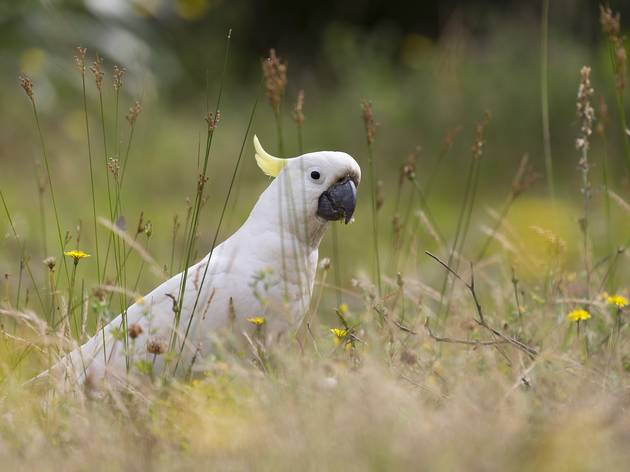 Generic white cockatoo