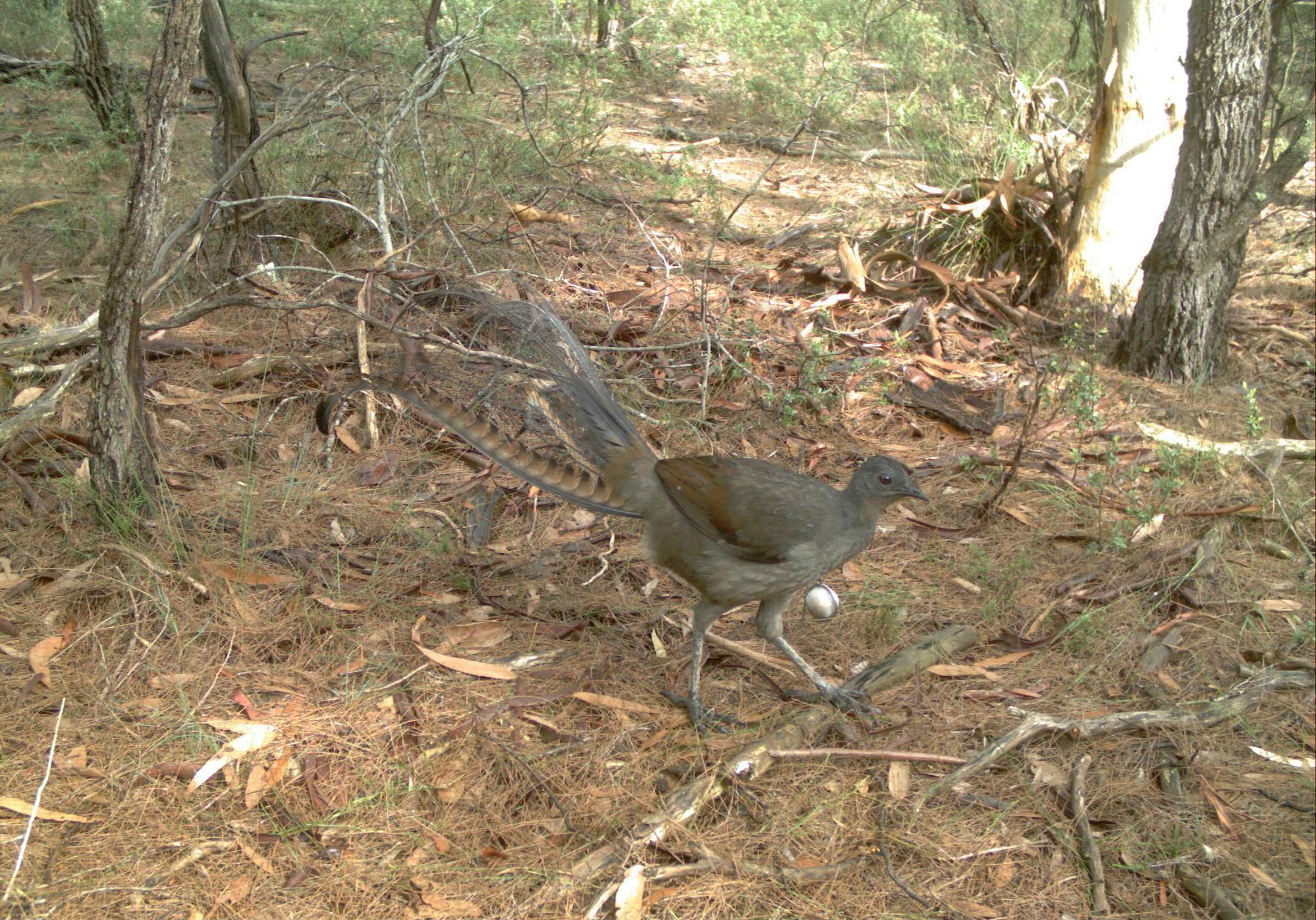 A superb lyrebird