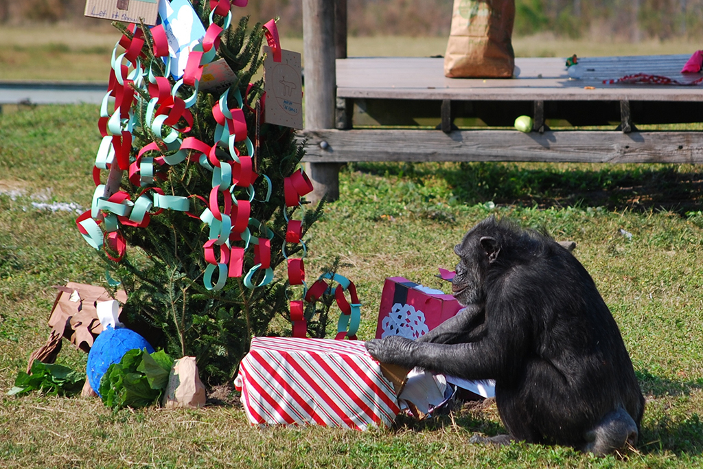 Christmas with chimps at Lion Country Safari