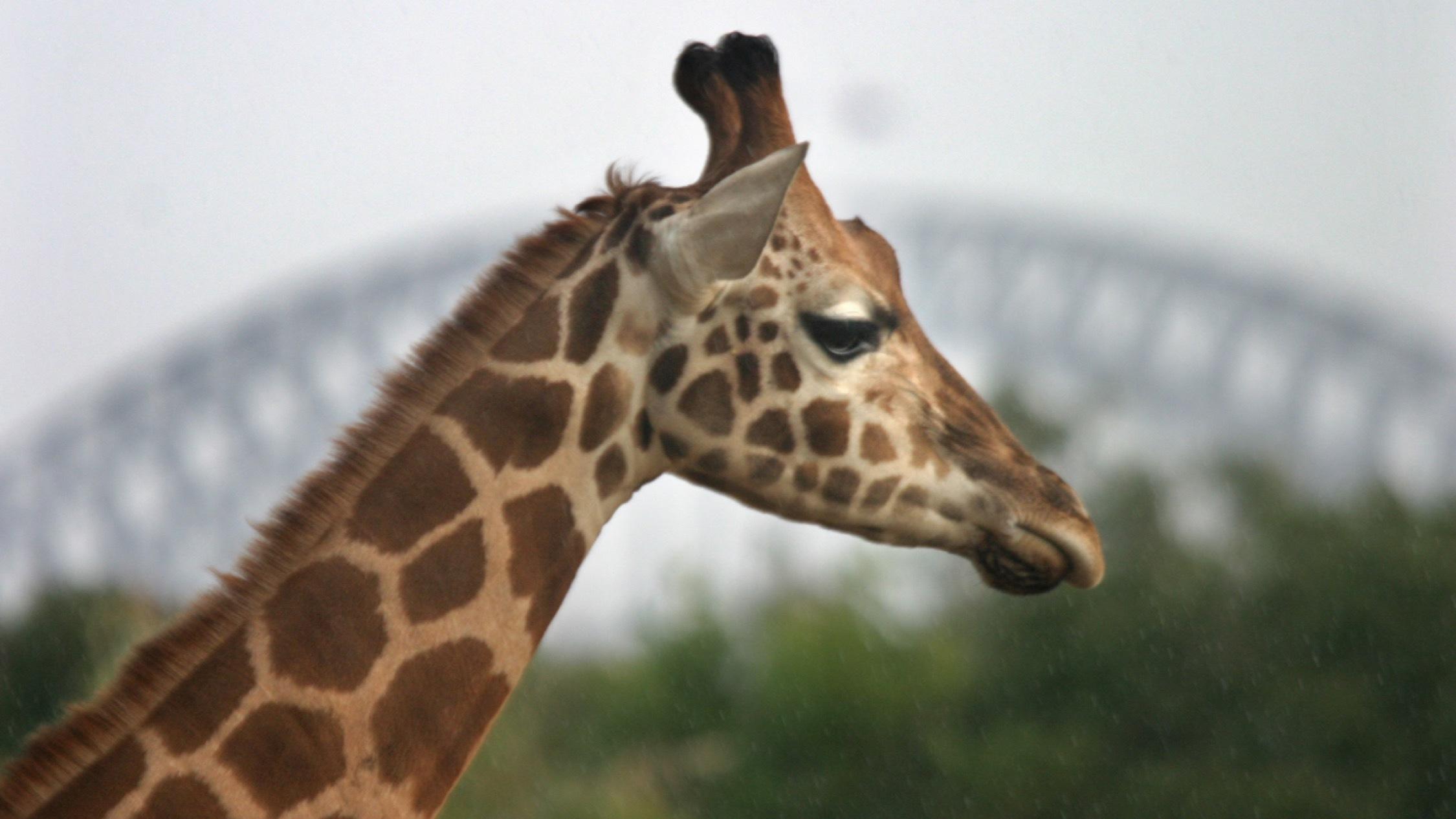 Giraffe at Taronga Zoo