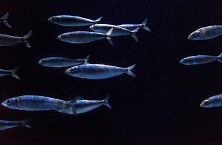 sardinhas oceanario de lisboa