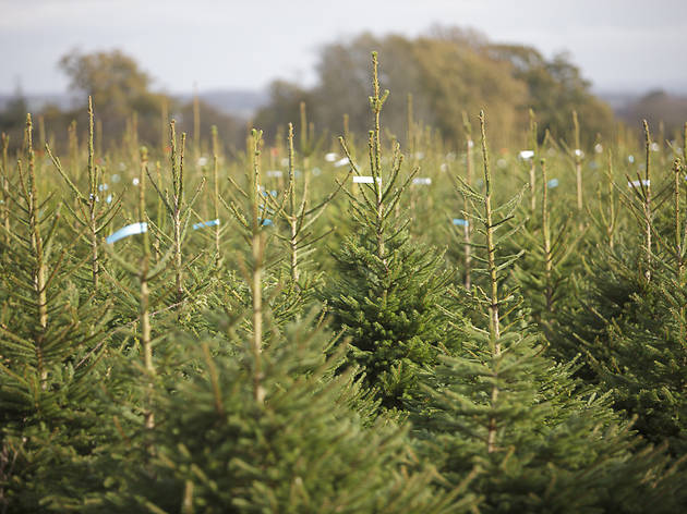 Where to buy a Christmas tree in London