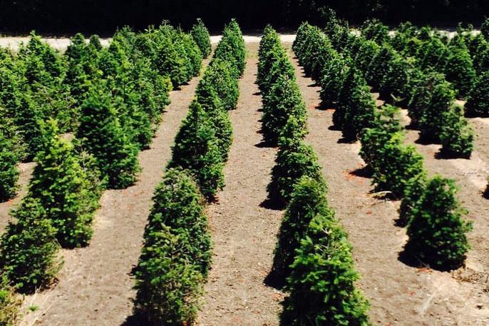 Santa's Tree Farm