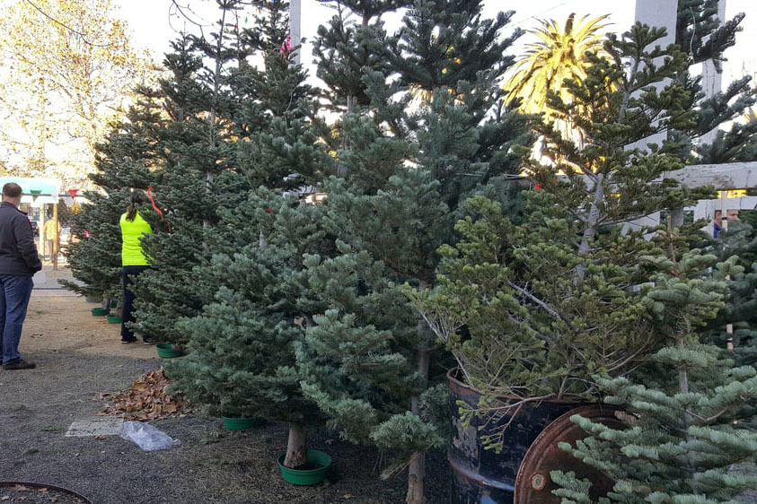 Brent's Christmas Trees