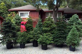 Rent A Living Christmas Tree