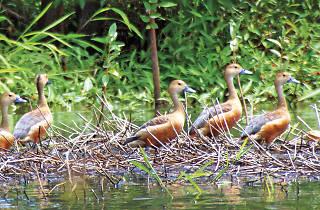 Whistling ducks in Muthurajawela