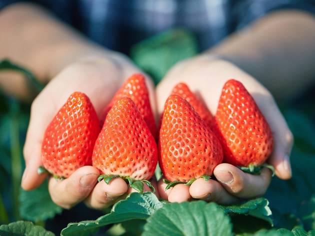 Yokohama Strawberry Festival