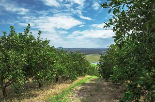 Huerta Santa Sofía donde se cosechan las naranjas de Jugos Del Valle