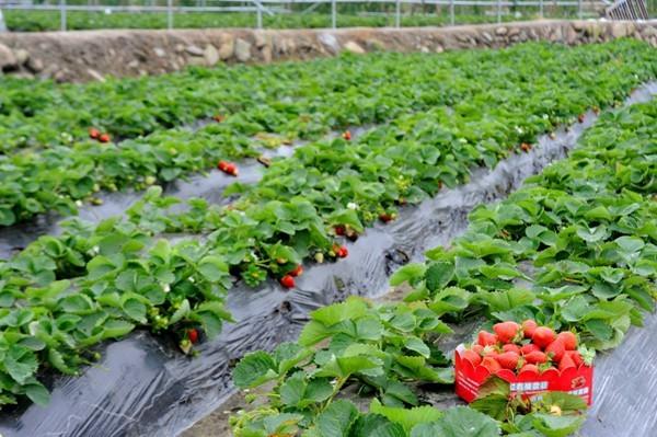 Long Ping Strawberry Farm
