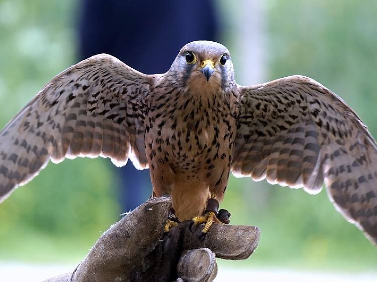 Learn medieval falconry