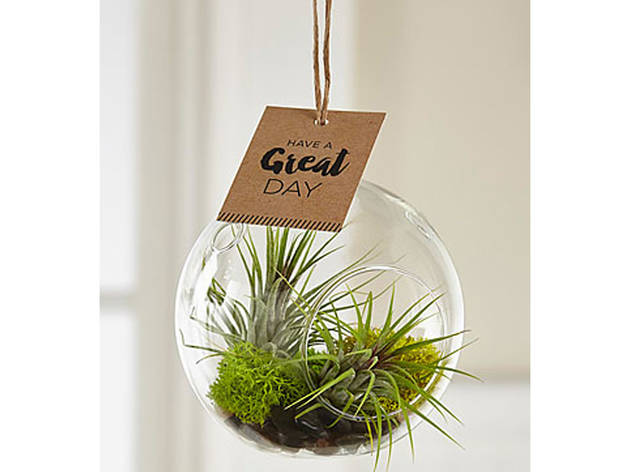 Just For You Hanging Air Plant
