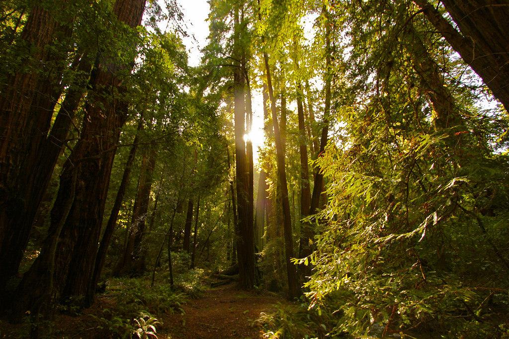 Sunlight in Muir Woods