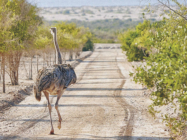 Safari Drive Anantara Desert Islands Sir Bani Yas Island, Abu Dhabi, UAE 30/10/15 Photo by Patrick Littlejohn / ITP;30-10-15 Bani Yas TOD;1