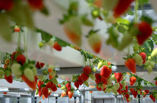 Generic Hydroponic Strawberries