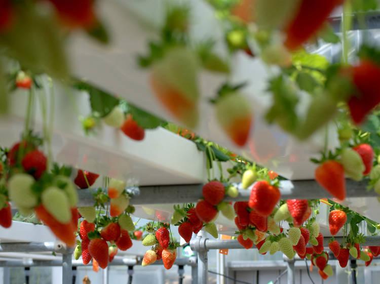 Strawberries: Berrylicious Berries