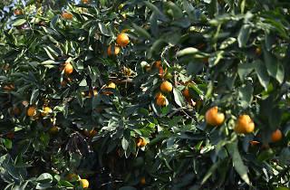 Generic Mandarin Tree