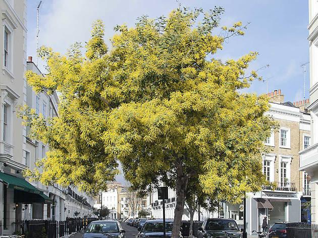 Mimosa, Pimlico