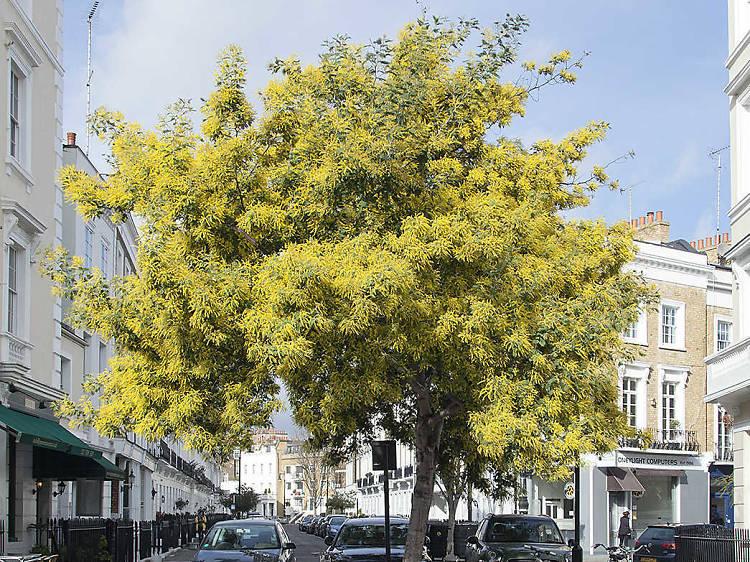 The Pimlico mimosa