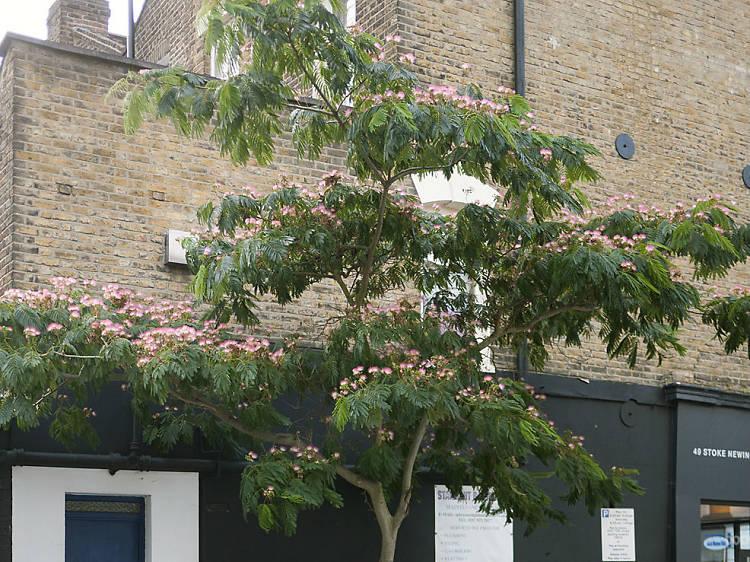 Stoke Newington Persian silk tree