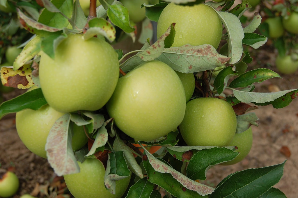Generic granny smith apple tree